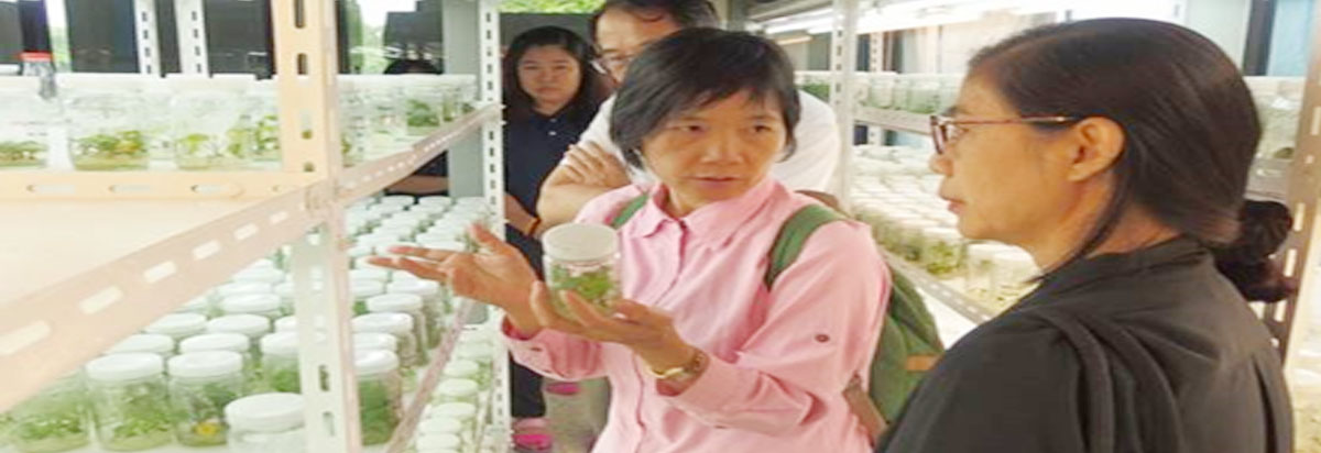 Gloriosa, Sweet Potato Virus-Free Seedling and Grape Root Stock Production Project (Thailand)